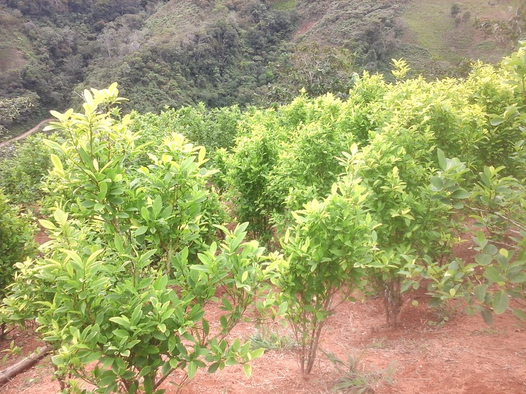 Image for New government's illicit crop policies violate peace agreement